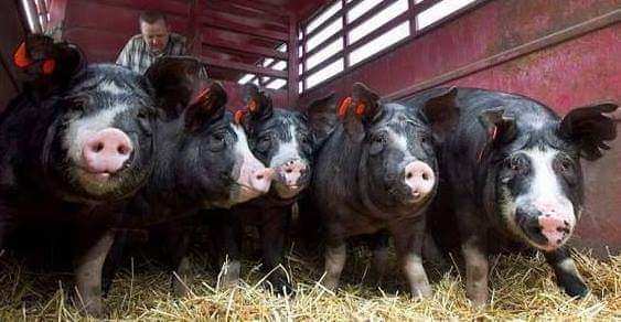 TD Niche Pork - Dolce